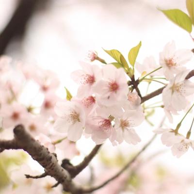20170414_桜